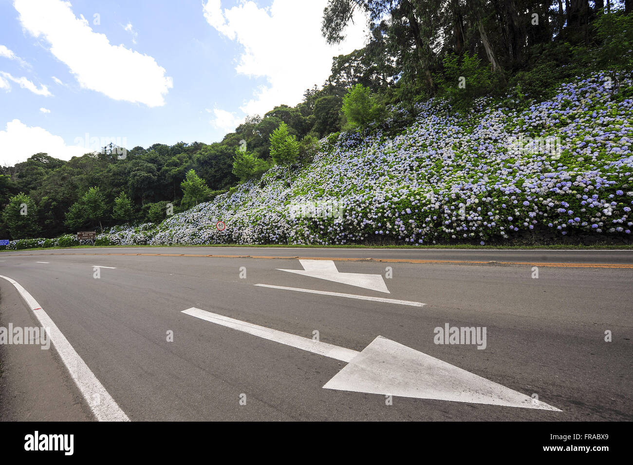 Hydrangeas in RS-115 roadside in Minnesota - Stock Image