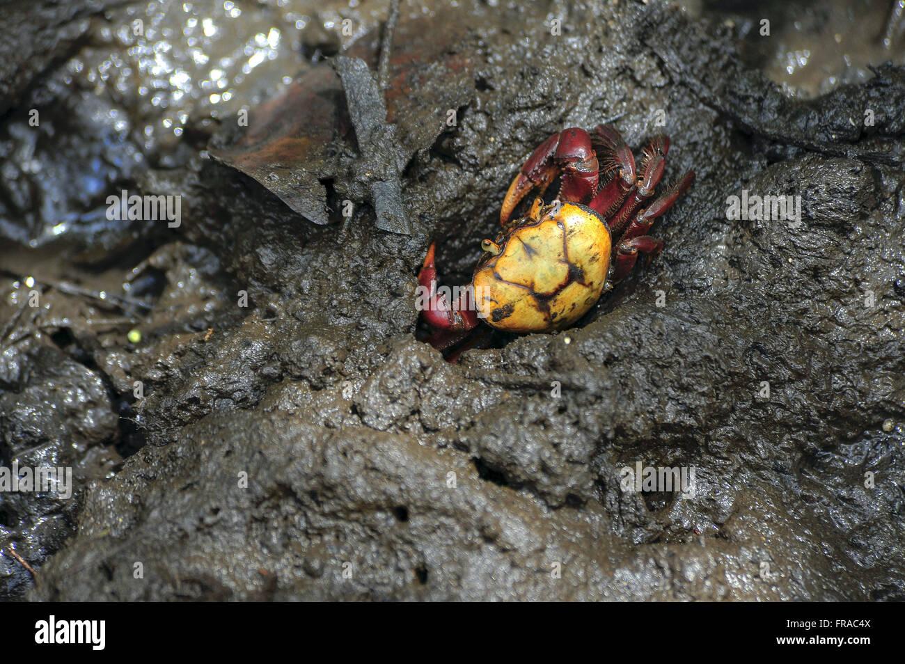 Caranguejo em mangue - Stock Image