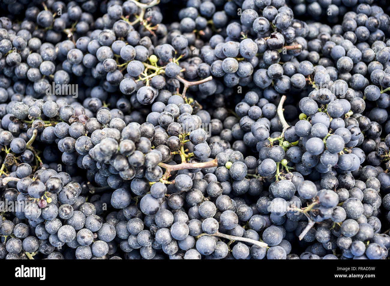 Grape detail type Merlot wine production Stock Photo