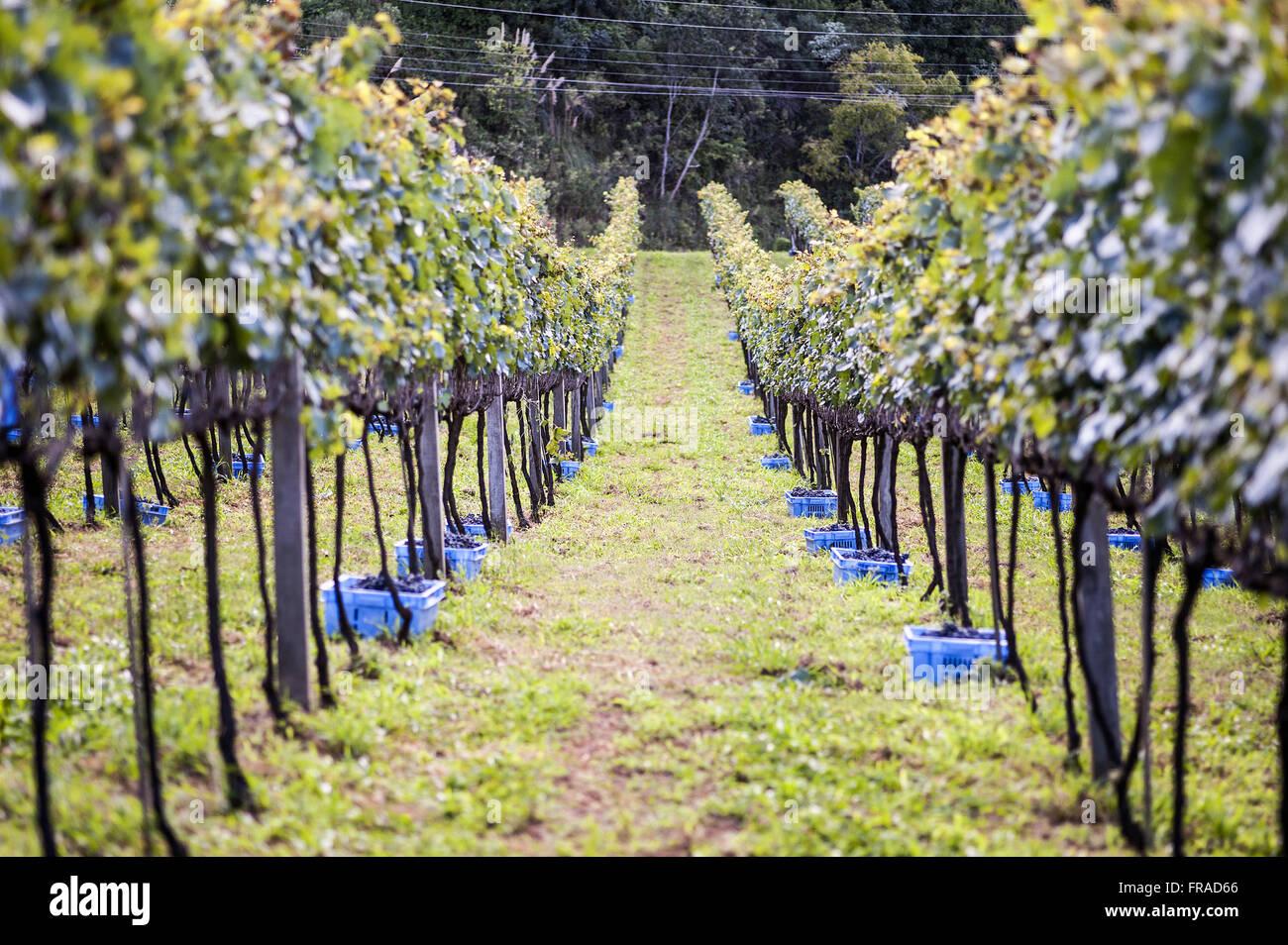 Colheita de uva tipo Merlot em cultivo de espaldeira vertical - Stock Image