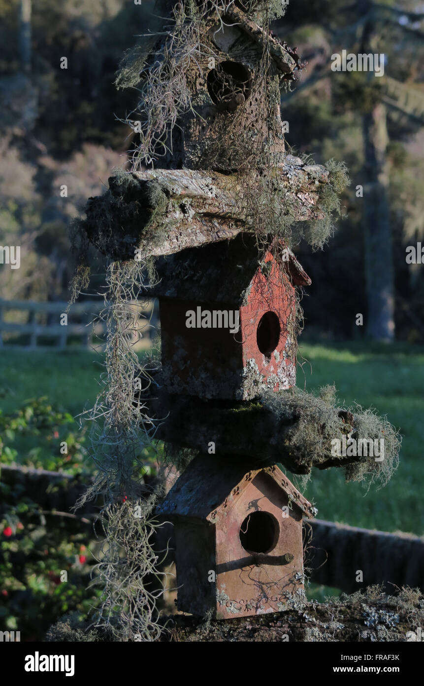 House finches with beard-de-pau-de-beard or old - Lageado Grande district - Stock Image