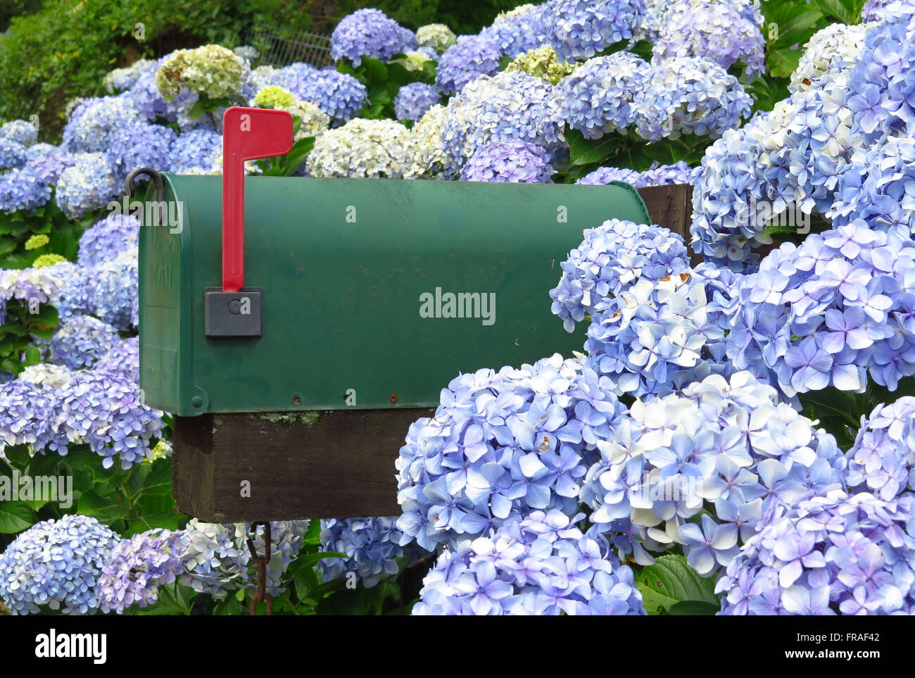 Mailbox through the hydrangeas - Stock Image