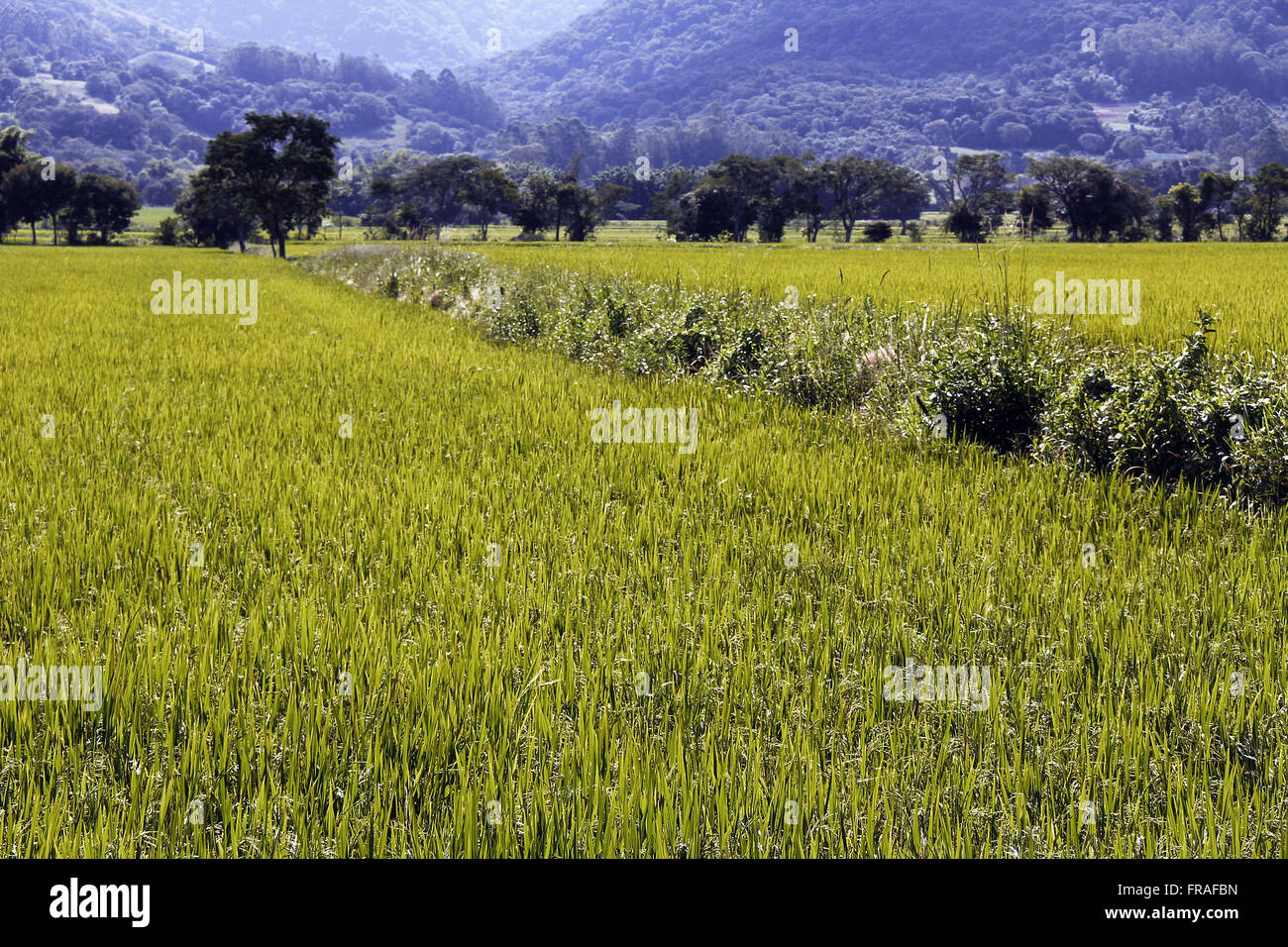 Plantation of rice terraces in Tres Barras - District of Santa Maria - Stock Image