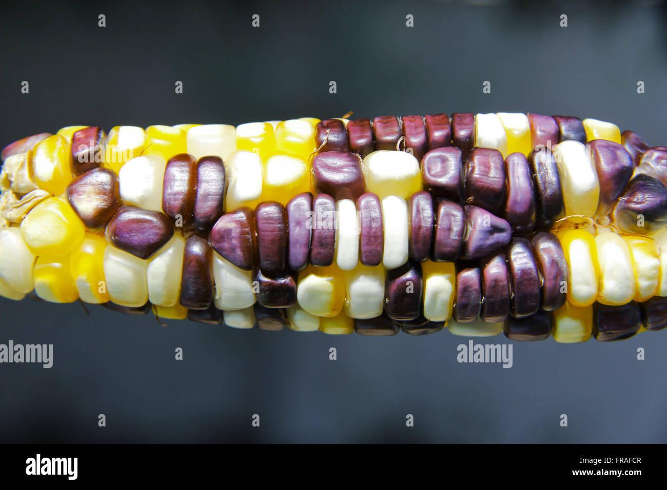 Creole Corn Cob - Zea mays - Stock Image