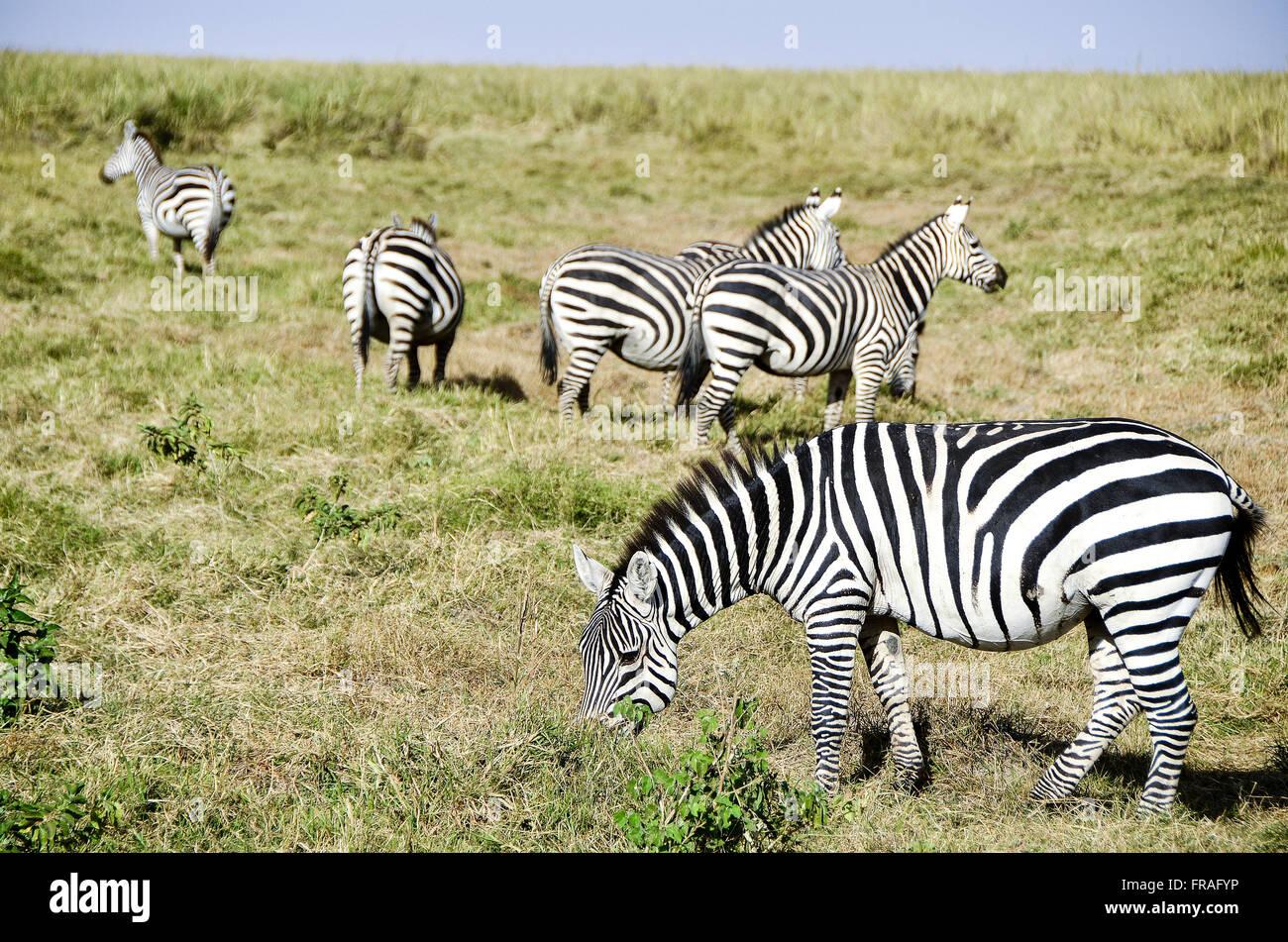 Zebras in Amboseli National Park - Stock Image