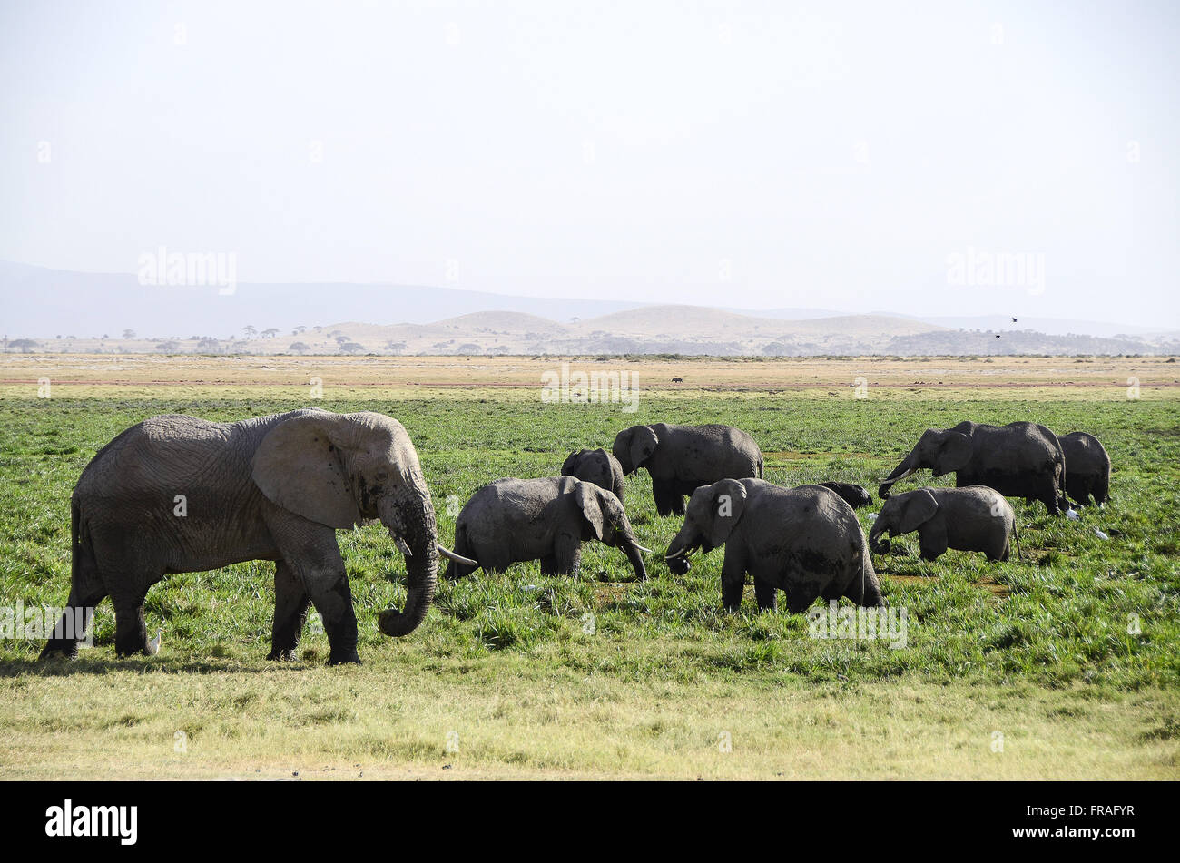 Elephants grazing in swamp of Amboseli National Park - Stock Image