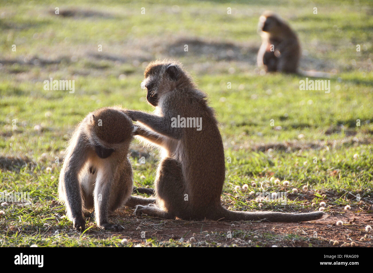 Vervet monkeys - also called old world monkey - in Amboseli National Park - Stock Image