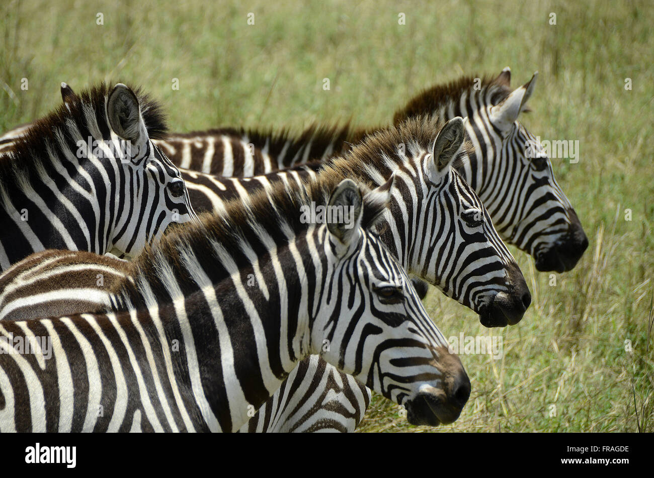 Zebras in the Masai Mara National Reserve - Stock Image
