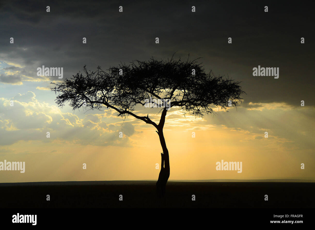 Acacia Landscape by the sun in Masai Mara National Reserve - Stock Image