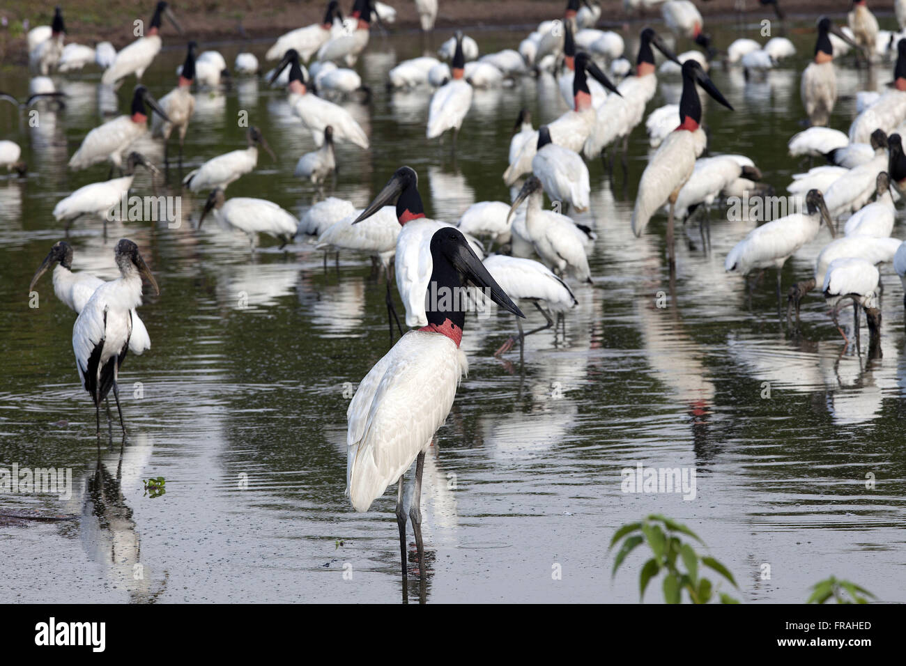 Concentration of birds or ada head-quark and drought in wetland Pocone - Stock Image