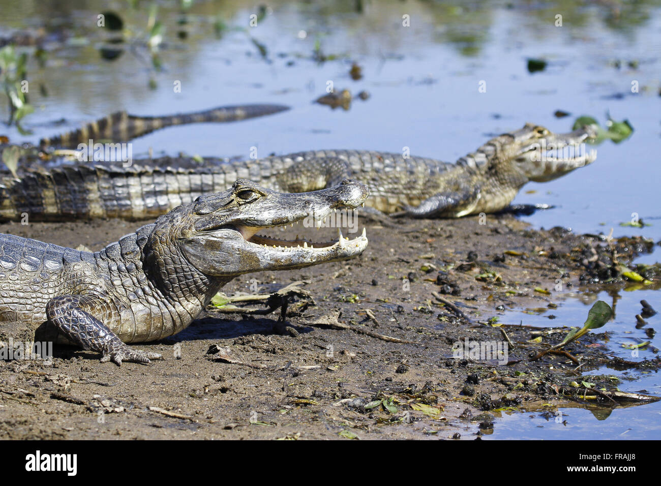 Alligators in the marsh lakefront - Caiman crocodilus yacare - Stock Image