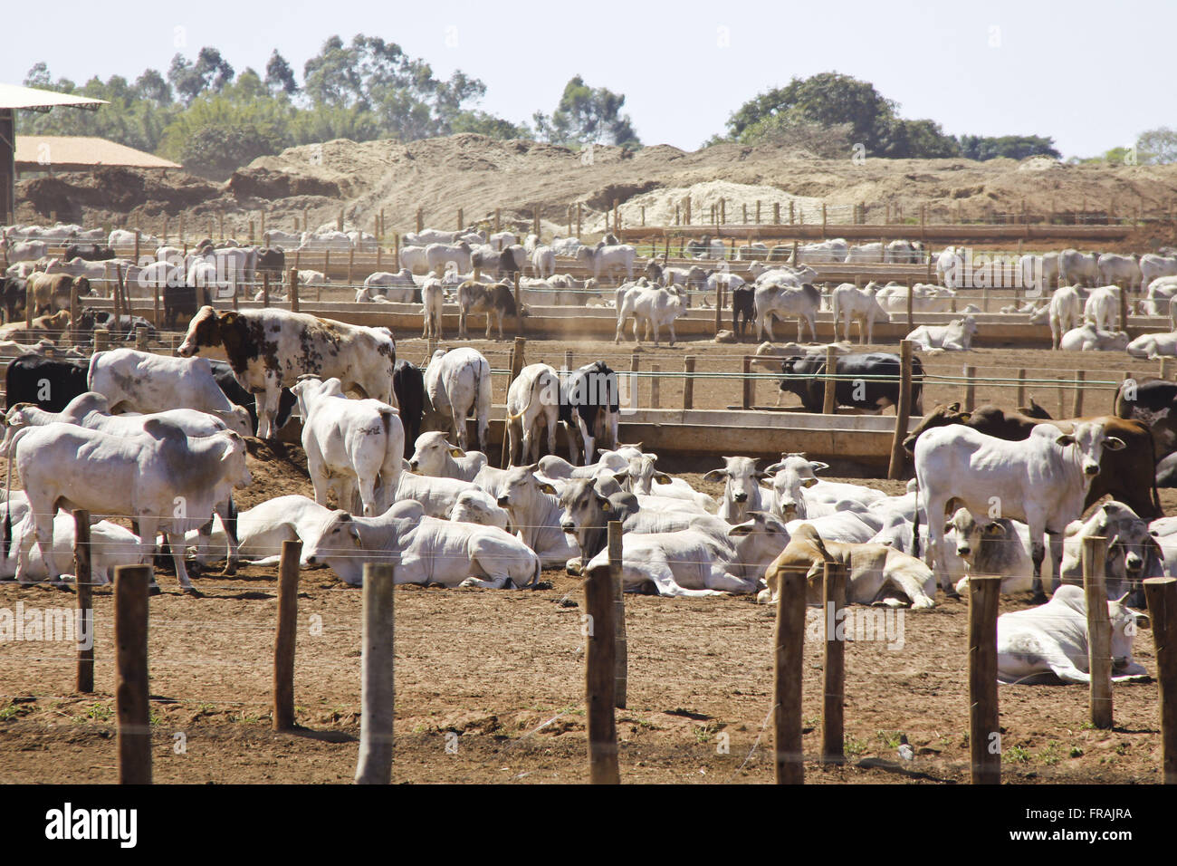 Nelore cattle in confinement unit at the margin of the BR-163 - Stock Image
