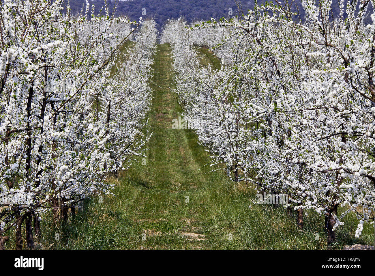 Flowering pear - Pyrus communis - business plantacao - Stock Image
