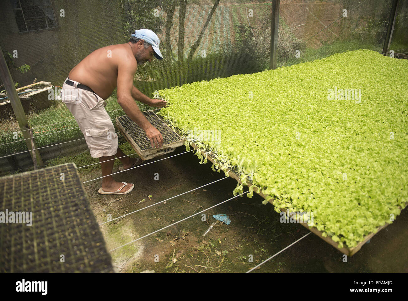 Farmer sleeps germinated seeds for greenhouse vegetables - Stock Image
