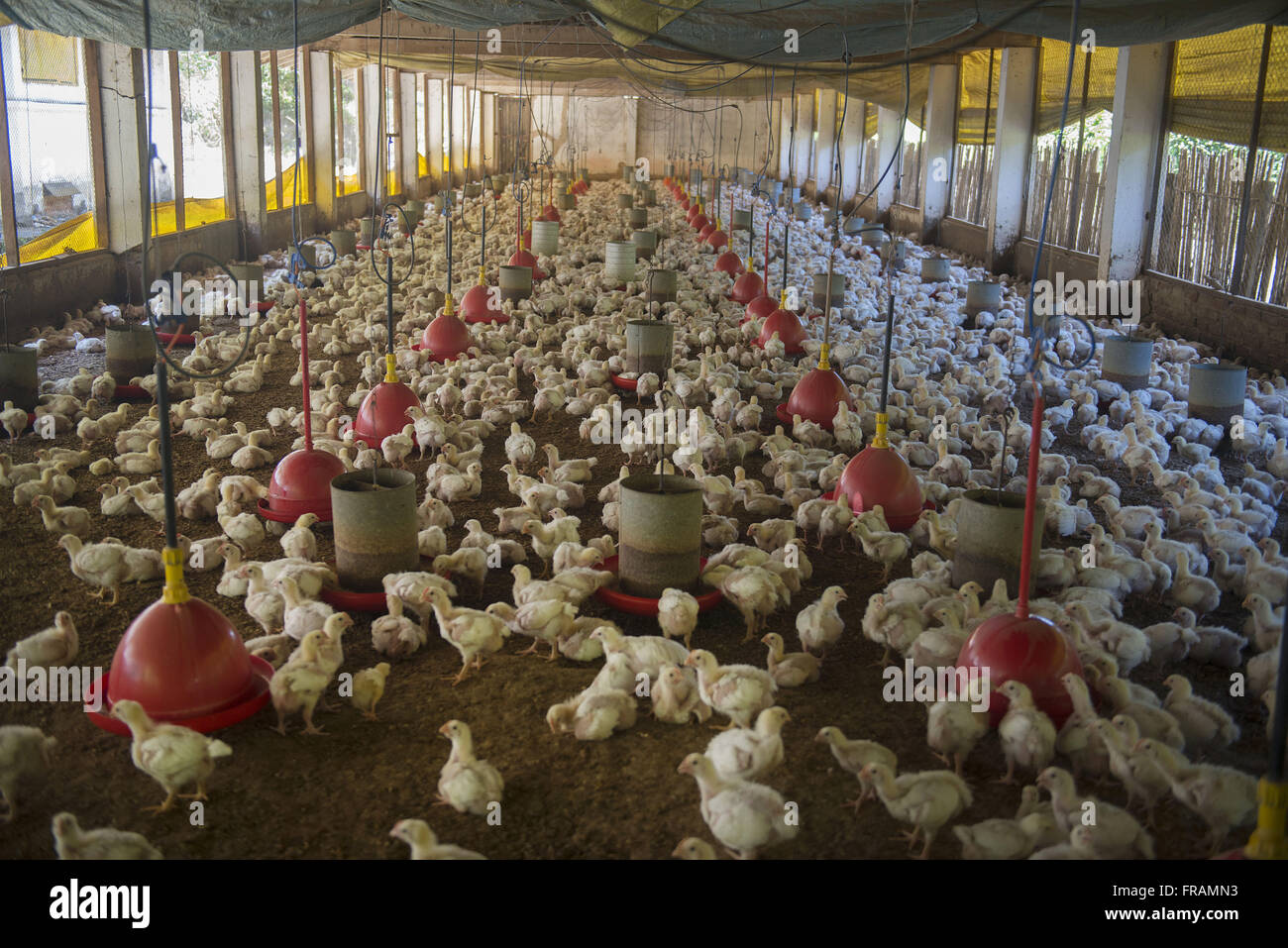 Creation of chickens for slaughter - Stock Image
