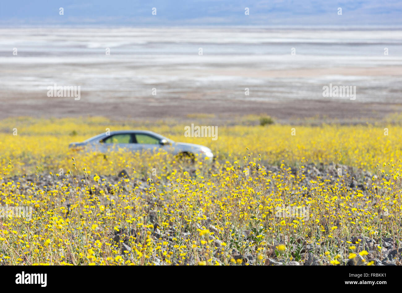 Super bloom of desert gold sunflowers (Geraea canescens) along Badwater road in Death Valley National Park, California. Stock Photo
