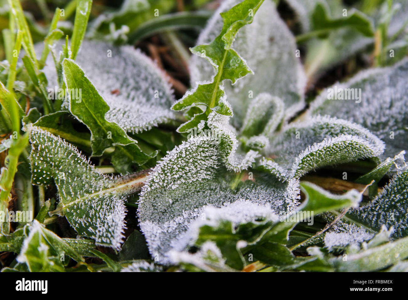 Plant covered with thin ice due to frost - Stock Image