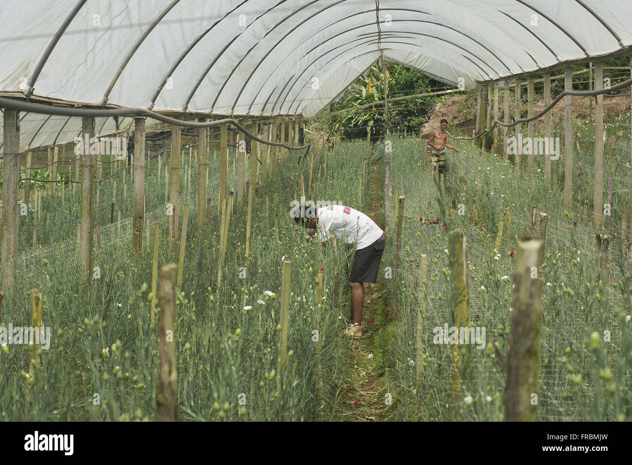 Plantation of carnations in greenhouses in Gale neighborhood - Stock Image
