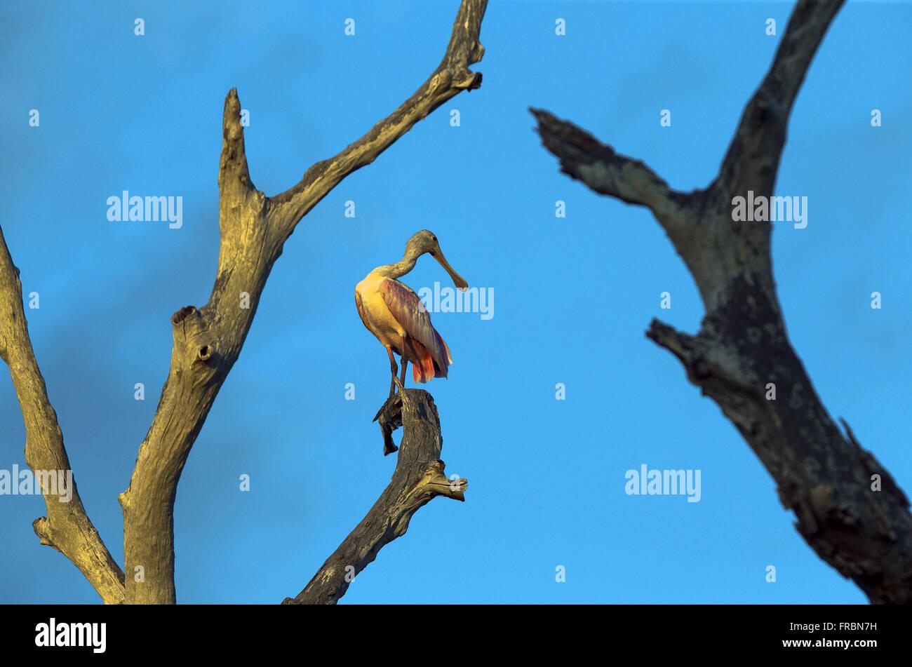 Colhereiro no Parque das Aves - Stock Image