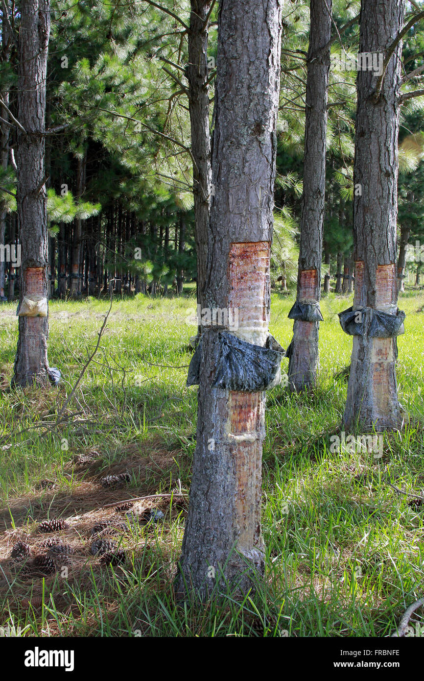 Collecting pine resin for use in disinfectants industry - Stock Image