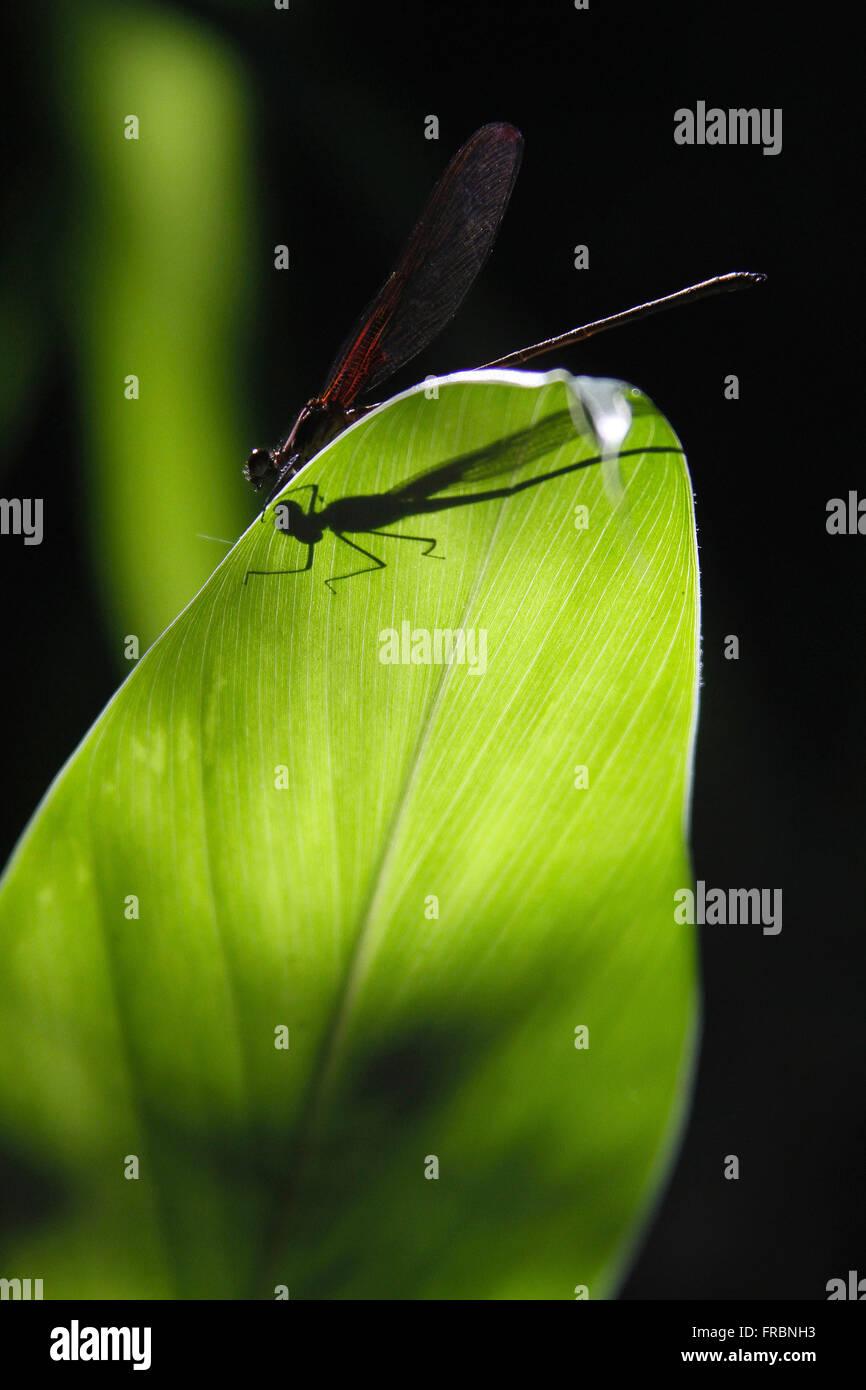 Dragonfly resting on ginger sheet - Stock Image