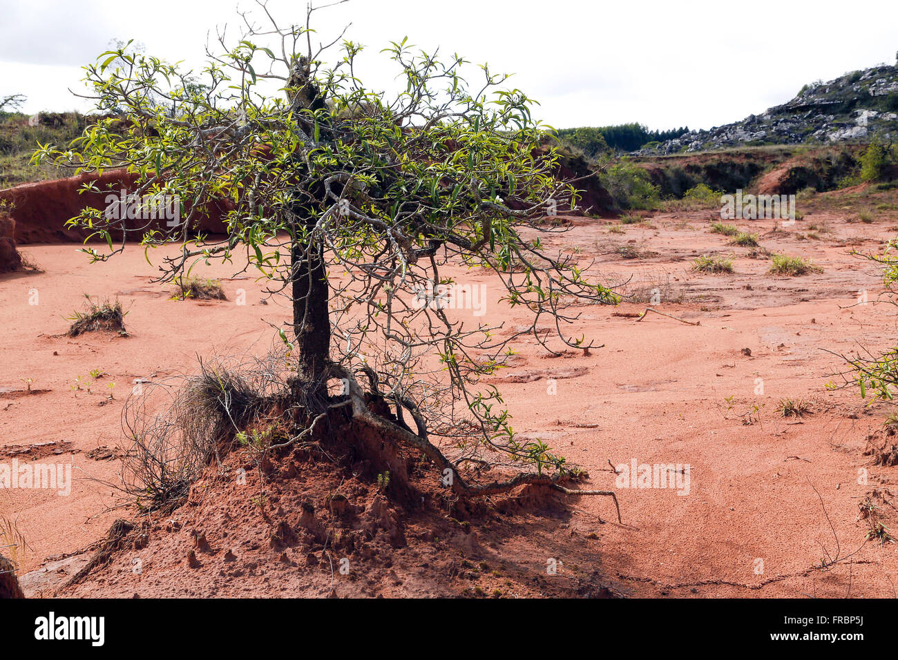 Example of the retention of the soil by the roots of plants in degraded area - Stock Image