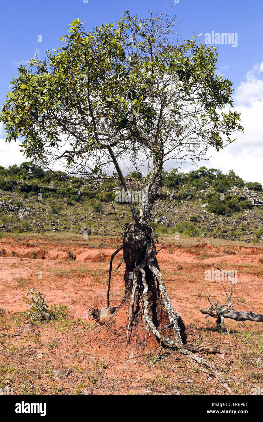 Example of soil retention by the roots of plants in area arenizada - Stock Image