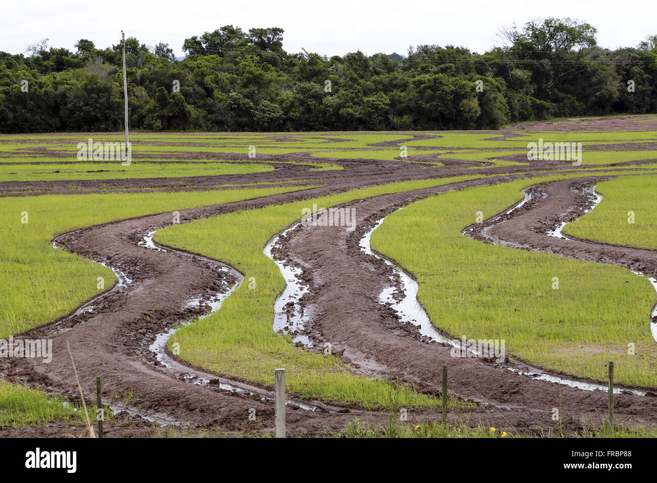 Level curves in rice plantation in the countryside - Stock Image