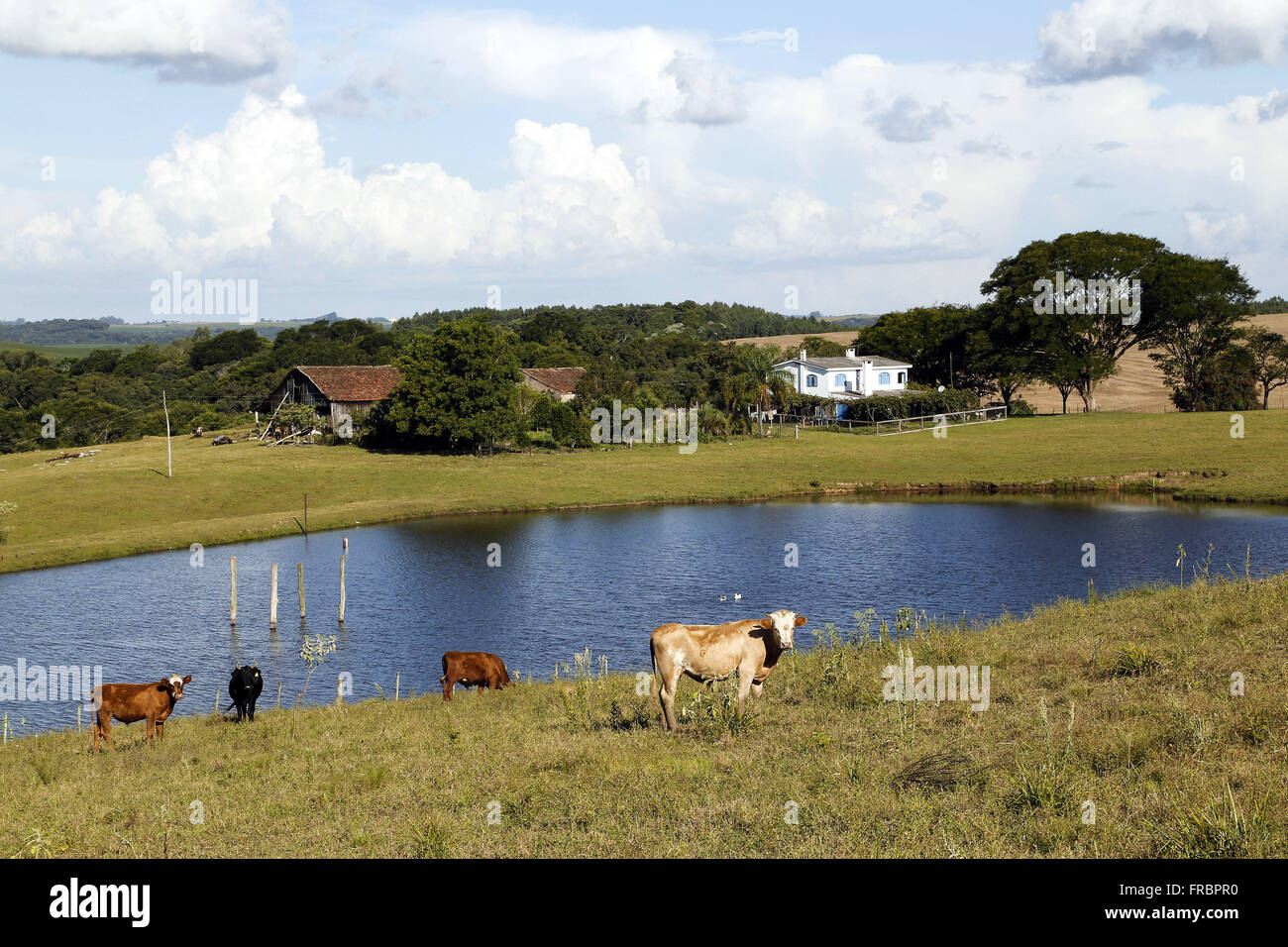 Cattle in the reservoir margin formed in the land depression in rural property Stock Photo
