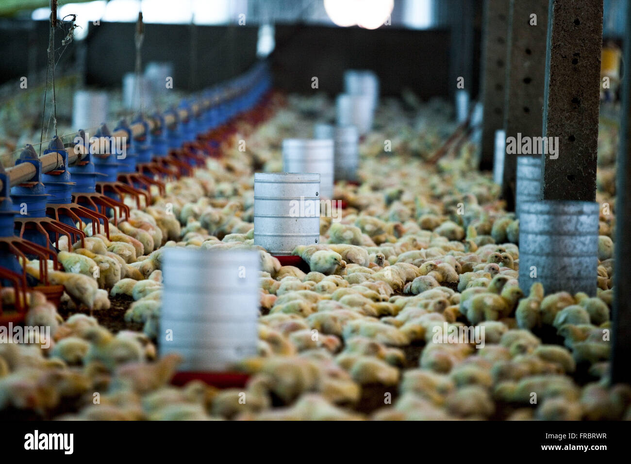 Poultry farming - raising poultry for slaughter - Stock Image
