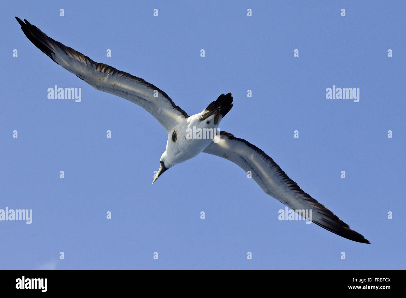 Masked Booby flying in the region of Atol das Rocas - Stock Image