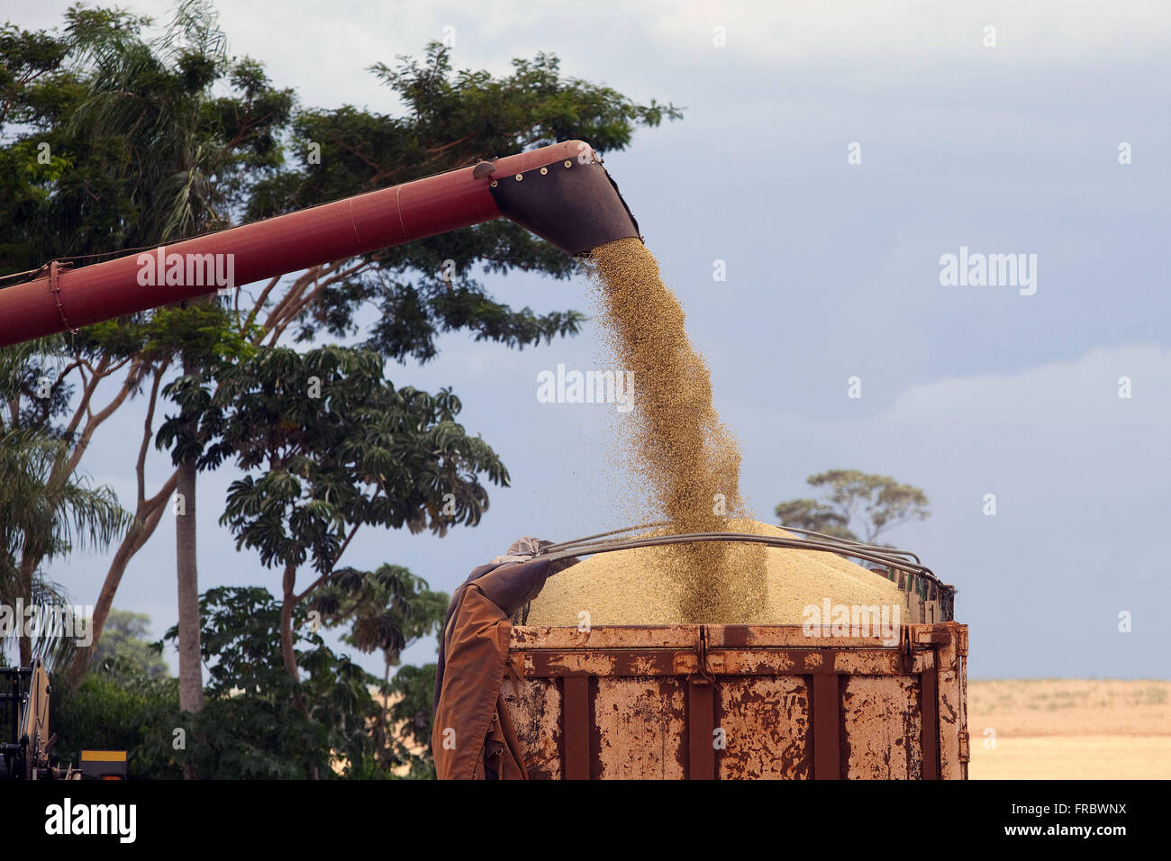Unloading of soybeans in the bucket truck - Stock Image