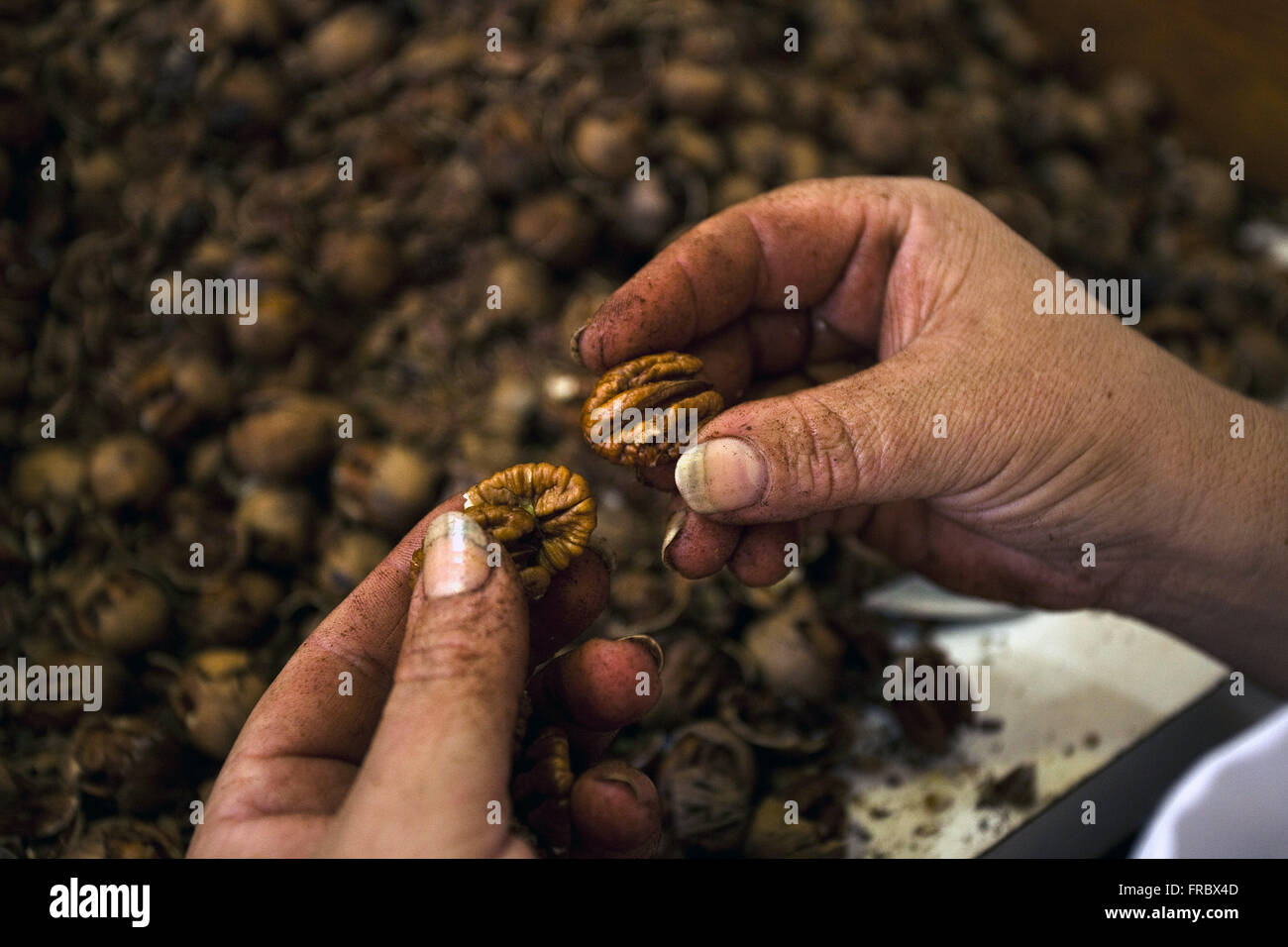 Walnuts or pecan piece being peeled and selected for commercialization - Stock Image