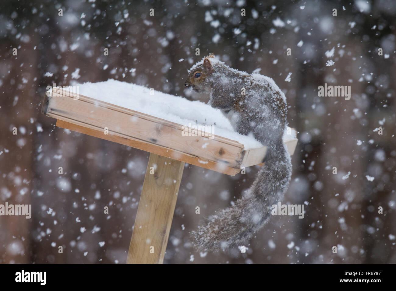 Grey Squirrel (Sciurus hudsonicus) in winter storm - Stock Image