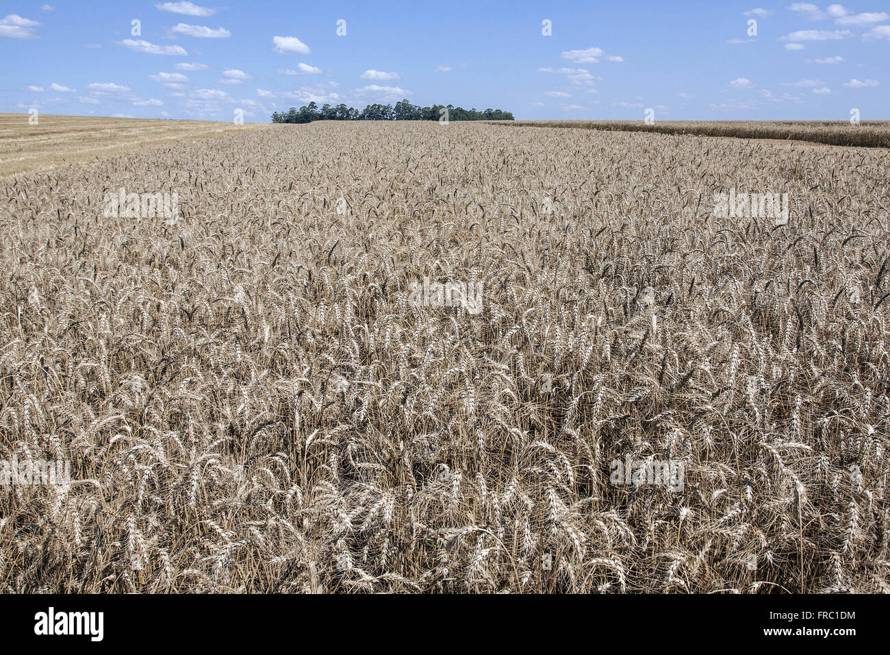 Plantação de trigo na zona rural Stock Photo
