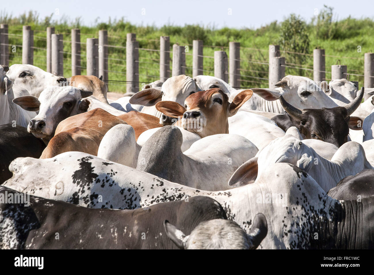 Livestock mestizo confined to rural property - Stock Image