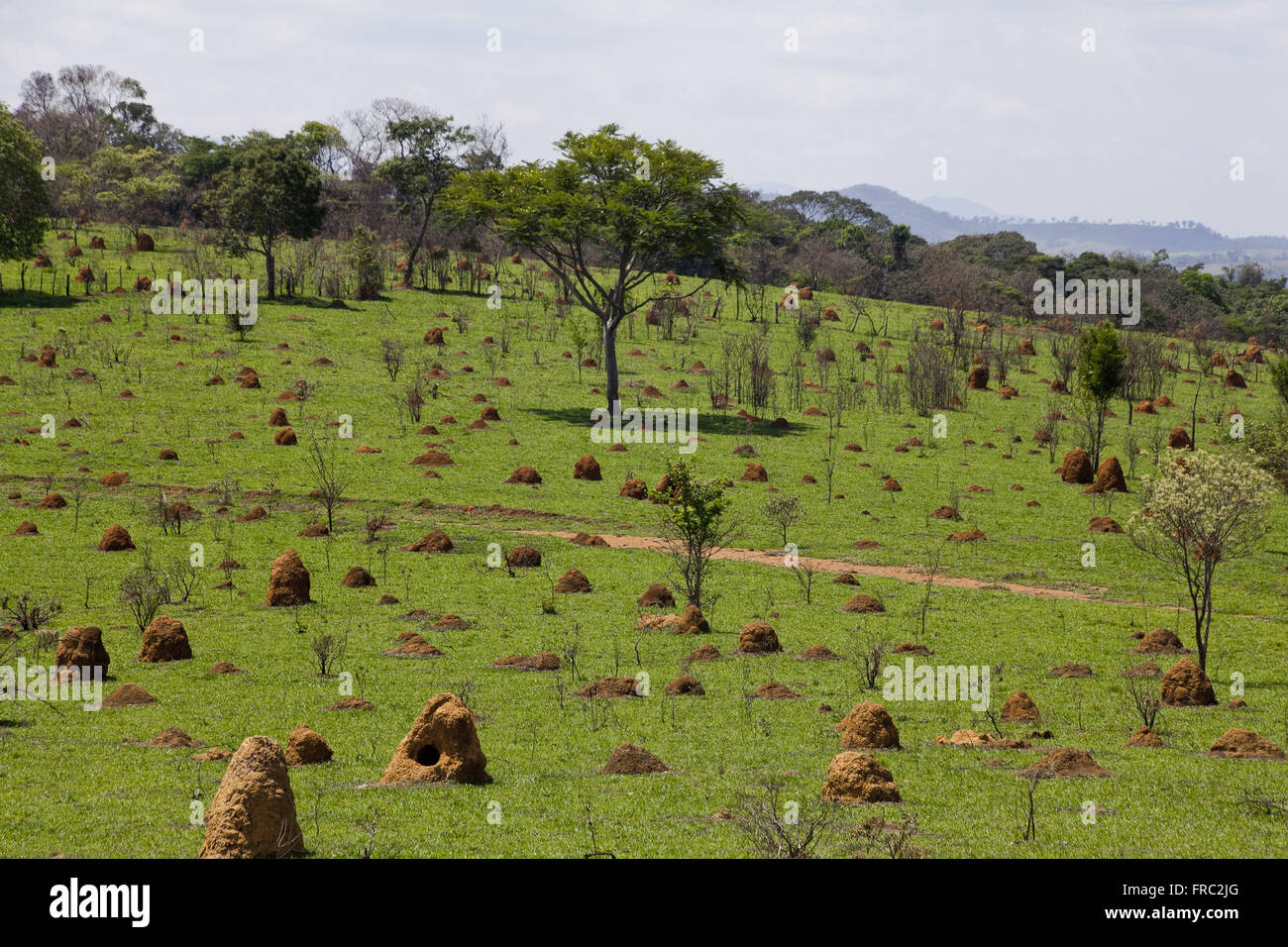 Grassland taken by termites - Stock Image