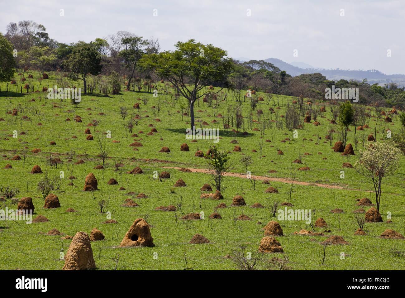 Grassland taken by termites - Stock Image