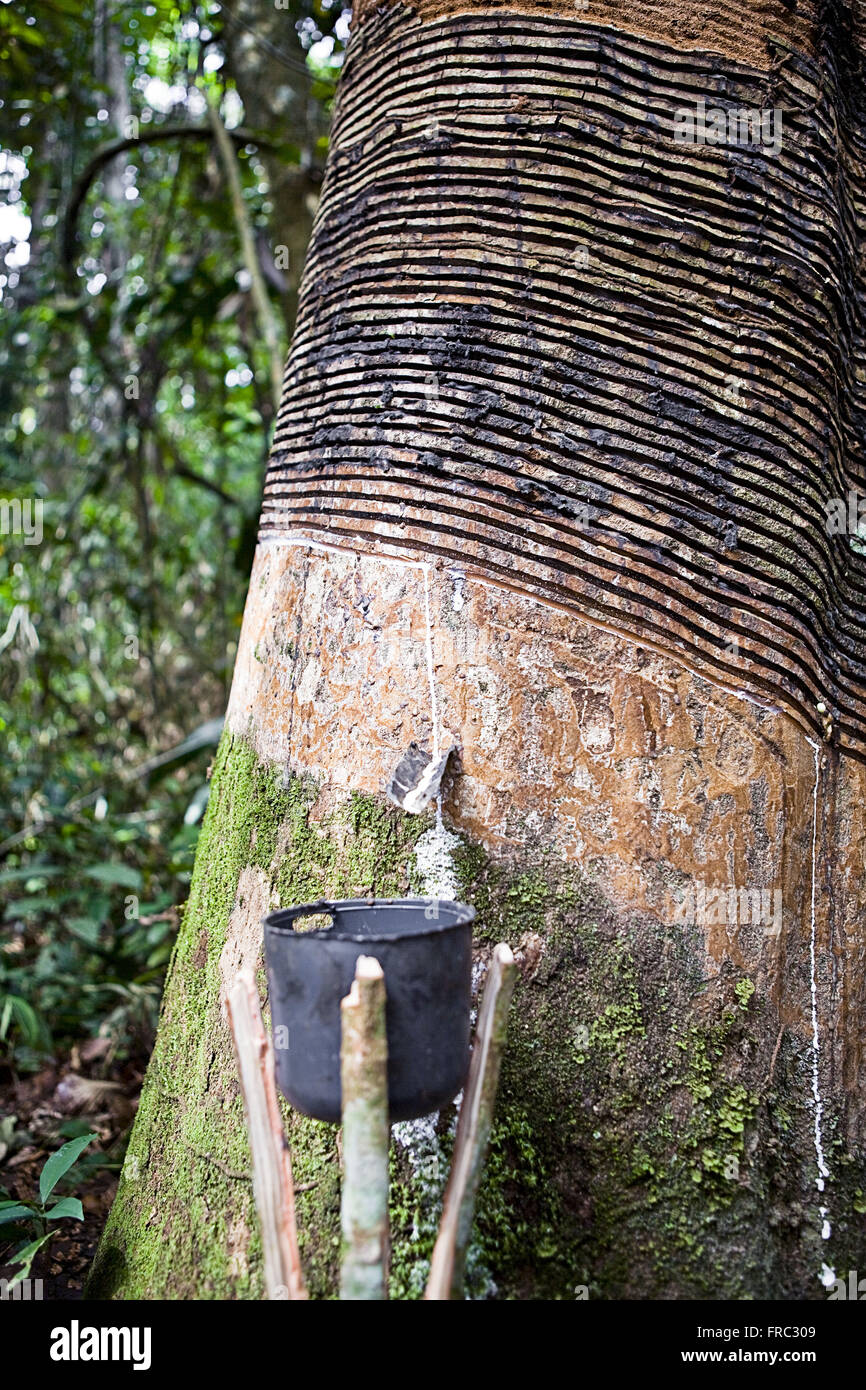 Extraction of latex in Cazumba-Iracema Extractive Reserve - Stock Image