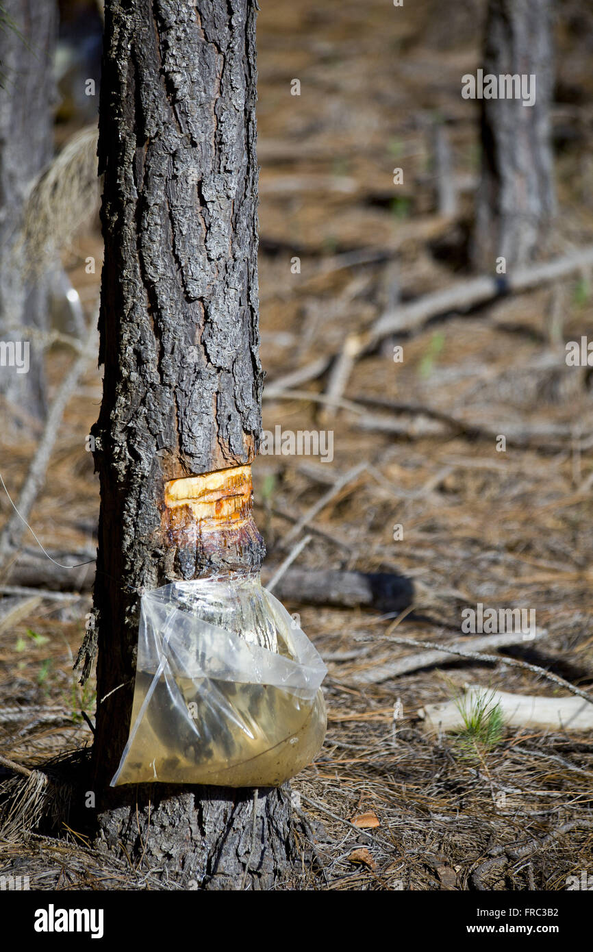 Detail of pine resin extraction - Stock Image