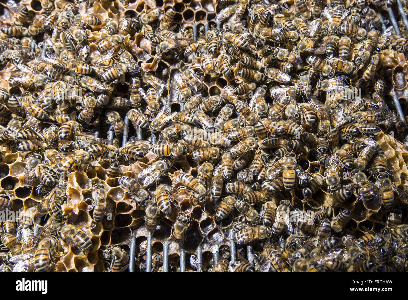 Apiary - bees detail in the supers or bee box - Stock Image
