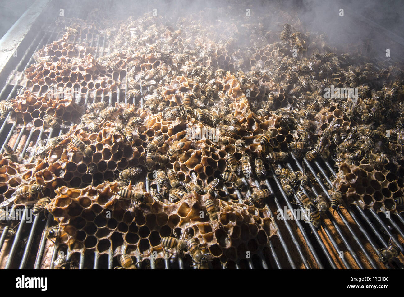 Apiary - Detail of bees in the supers or bees after fumigation box - Stock Image