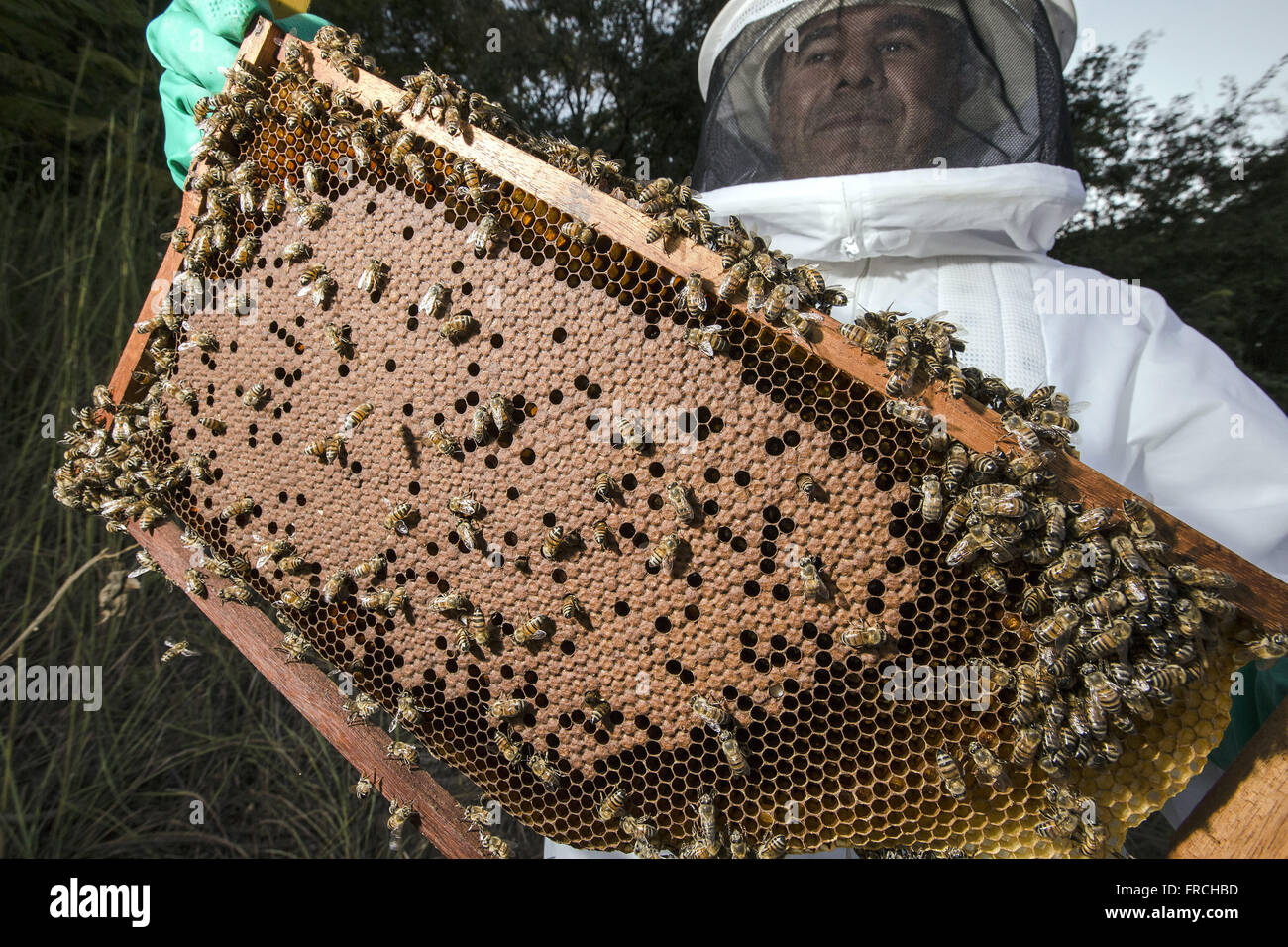 Beekeeper working in apiary honey extraction in the Congonhas district - Stock Image