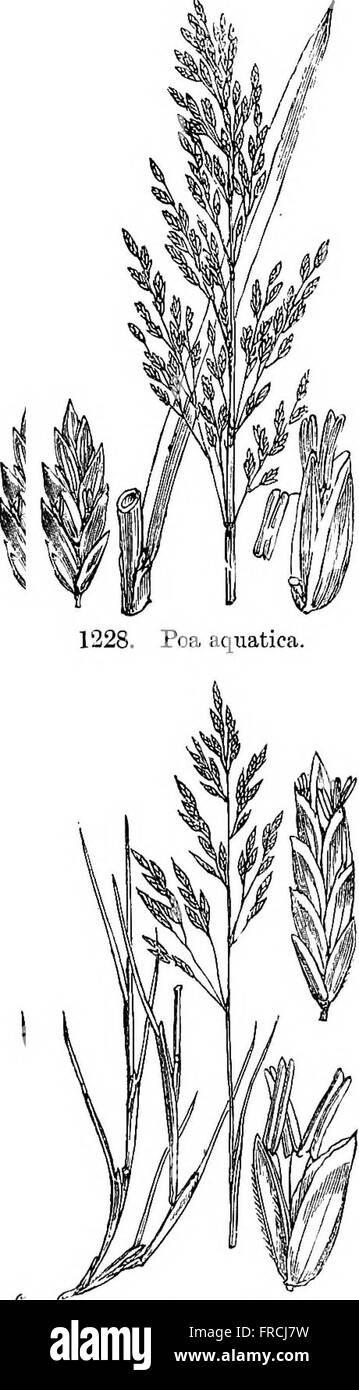 Illustrations of the British flora- a series of wood engravings, with dissections, of British plants (1880) Stock Photo