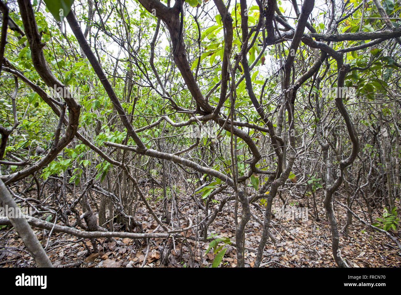 Diverse vegetation as cipo, angelica, ironwood Ecological Sanctuary in Pipa - Stock Image