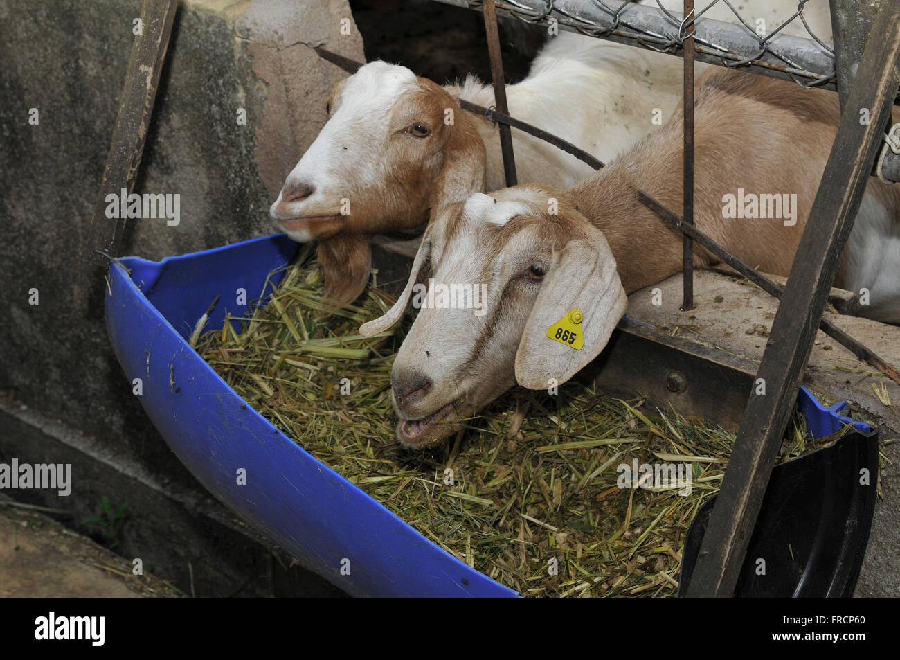 Intersection of Saanen goats and boer trough in corral - Stock Image
