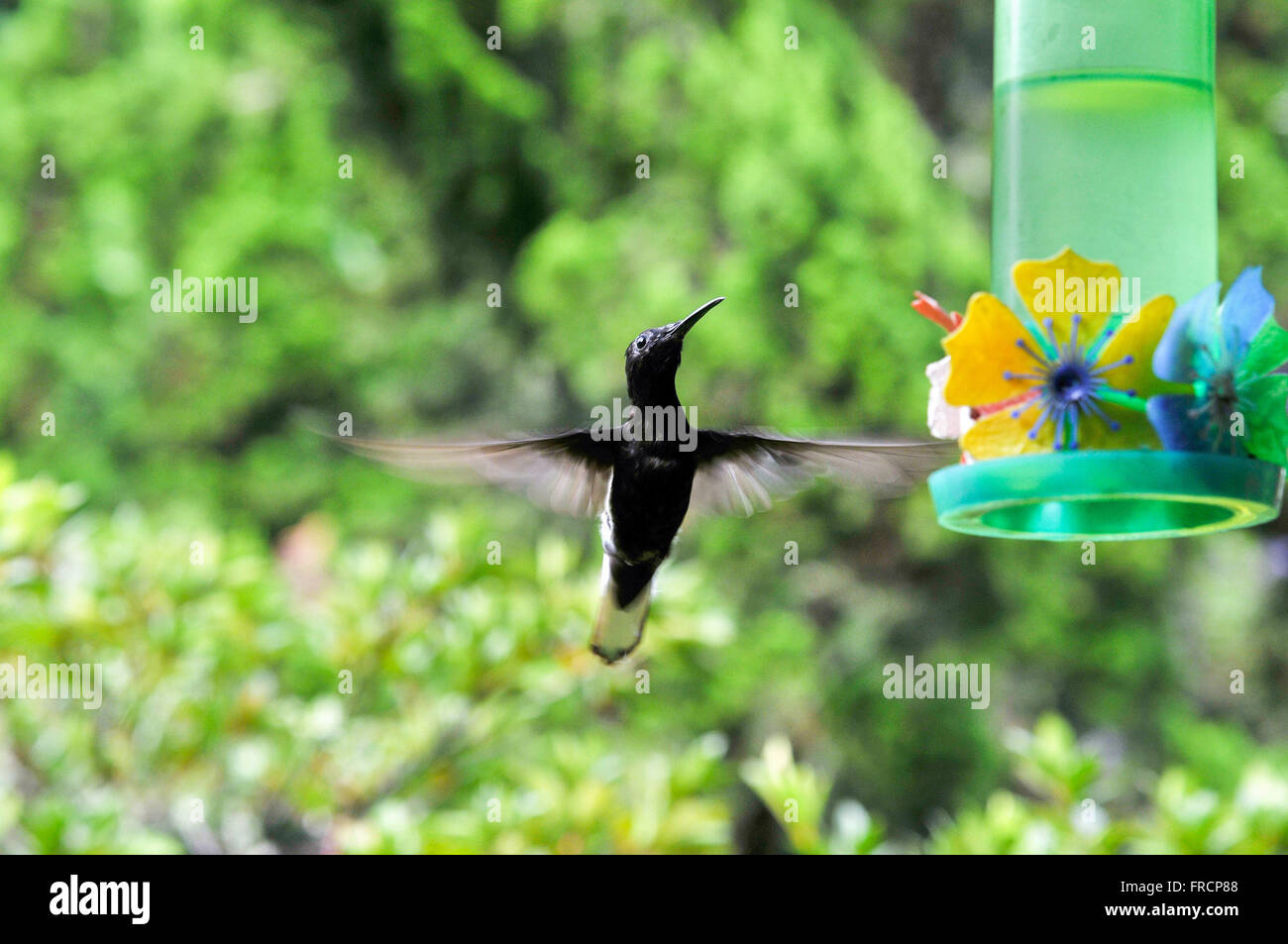 Hummingbird and cooler with water and sugar - Stock Image