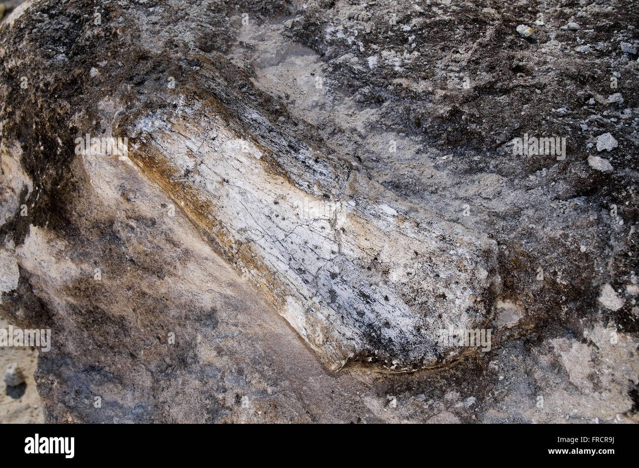Petrified bone with approximately 70 million years of the Cretaceous period - Stock Image