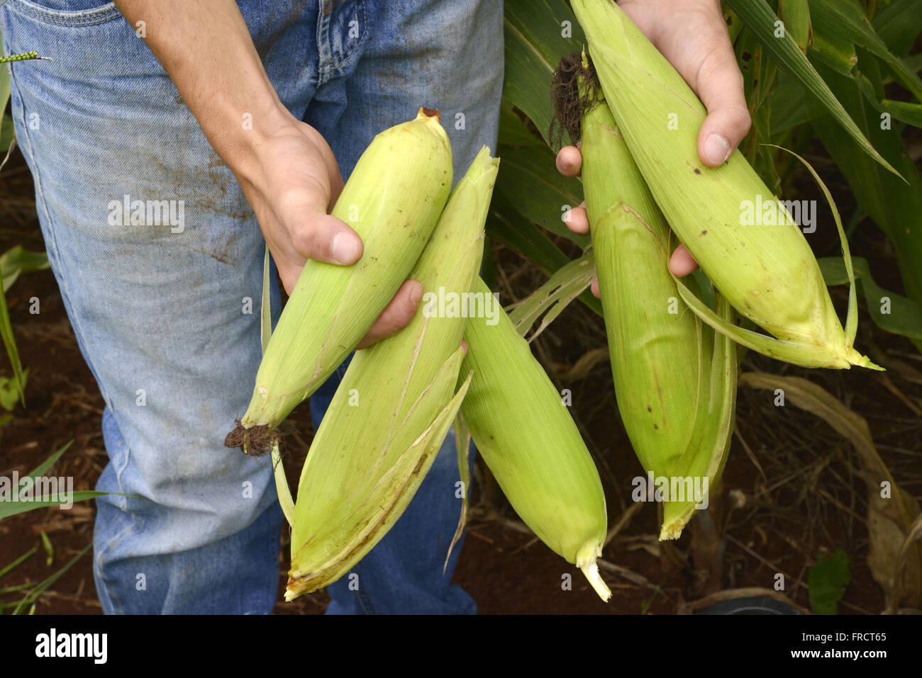 Farmer holding ears of corn in the countryside - Stock Image