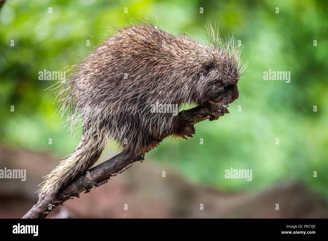 North American porcupine (Erethizon dorsatum) walks on a branch Stock Photo